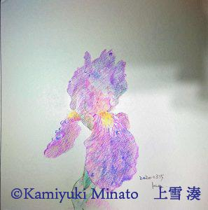 にほんの色鉛筆で描いた菖蒲