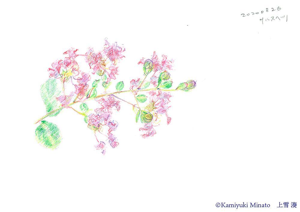百日紅の花(色鉛筆)